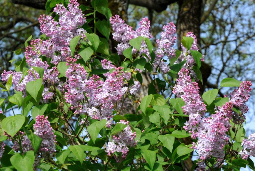 pruning flowering shrubs