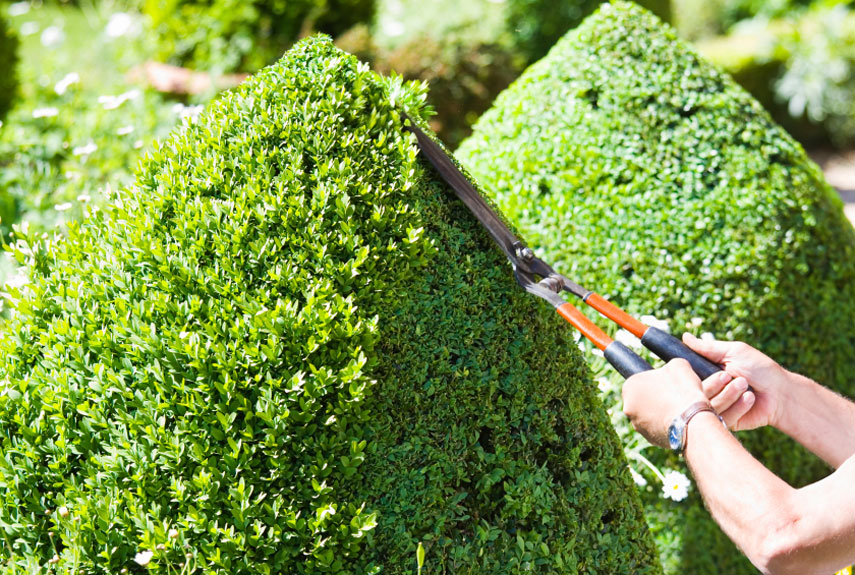 pruning evergreen shrubs