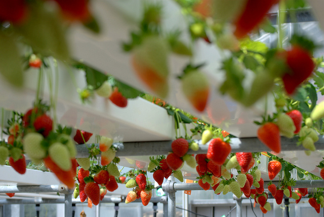 hydrophonic strawberries